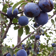 Load image into Gallery viewer, Damson Plum