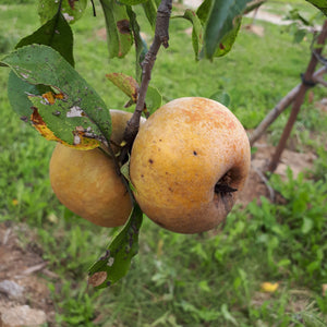 Golden Russet Apple
