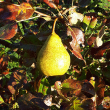 Load image into Gallery viewer, Jules d'Airoles Pear