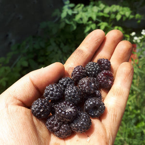 Jewel Black Raspberry