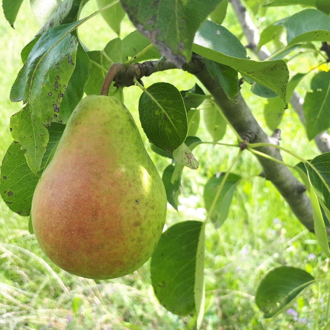 Harrow Delight Pear