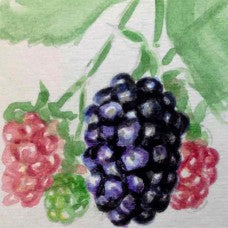 Balsor's Hardy Blackberry