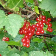Becker Red Currant