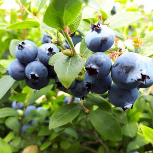 Brunswick Lowbush Blueberry
