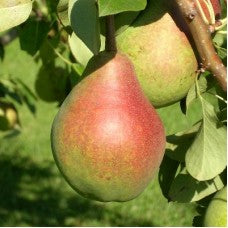 Clapp's Favourite Pear