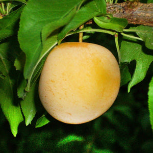 Early Golden Plum