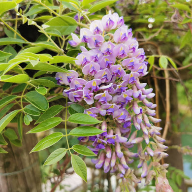 Wisteria Seedling
