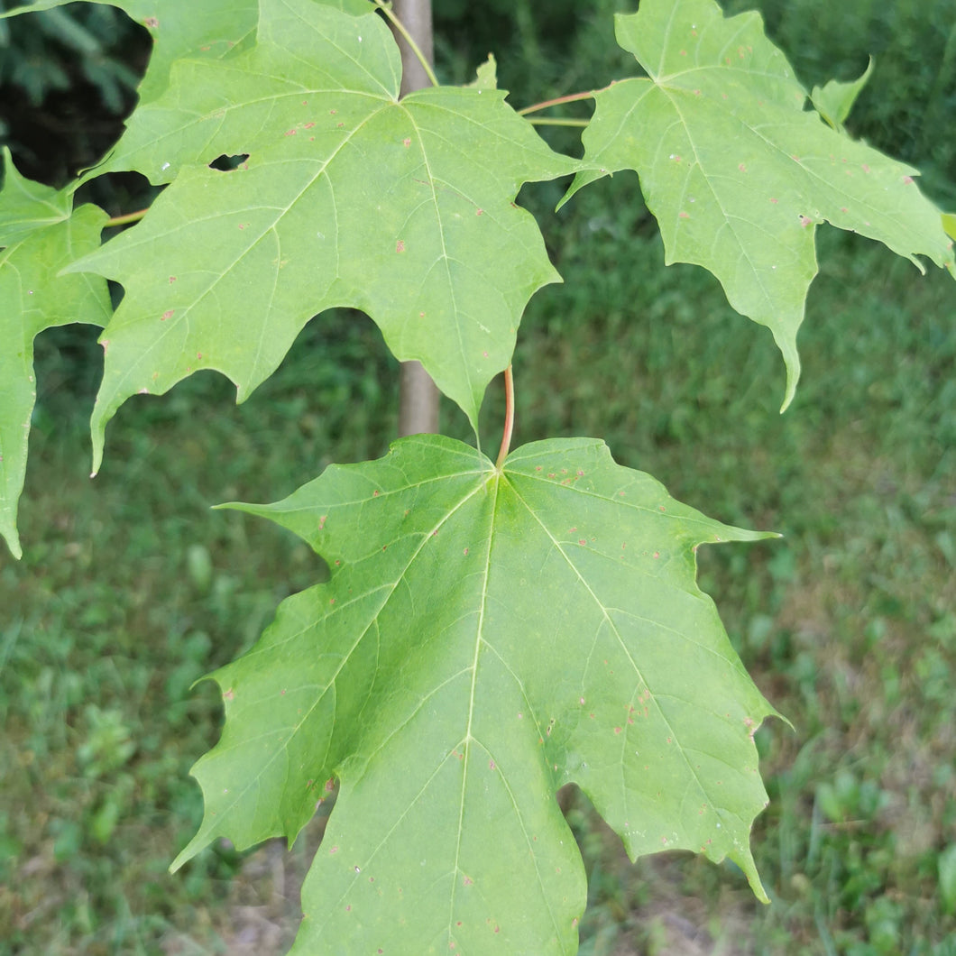 Sugar Maple Seedling