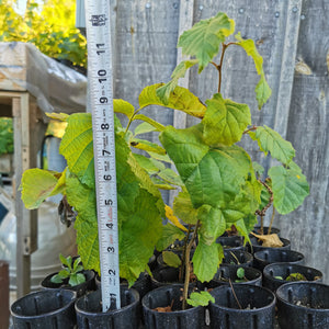 Asian Hazelnut Seedling