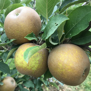 Ashmead's Kernel Apple