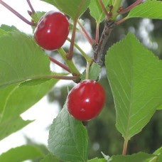 Montmorency Sour Cherry