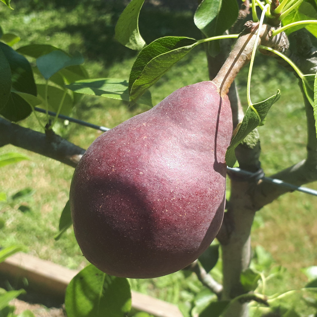 Red Clapp's Favourite Pear