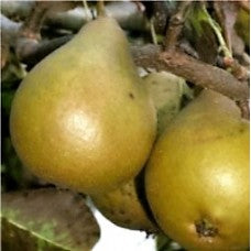 Seckel Pear