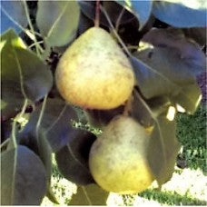 Thorne Pear