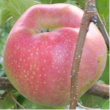 Load image into Gallery viewer, Wolf River Apple