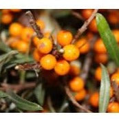 Chuyskaya Sea Buckthorn (Female)