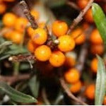 Harvest Moon Sea Buckthorn (Female)