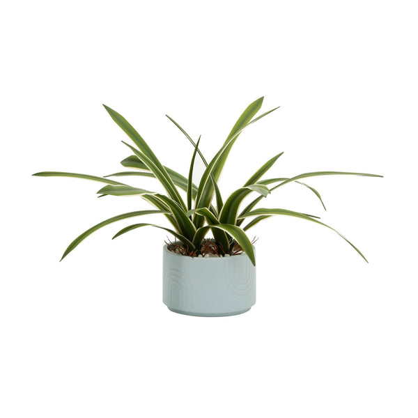 GREEN & POT CHLOROPHYTUM Medium Light Blue