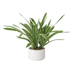 GREEN & POT Chlorophytum White