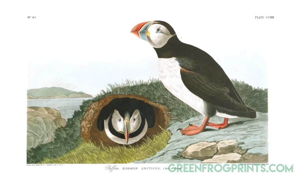 Audubon Plate 213 Puffin Art Print | High Quality Printed Artwork On Canvas Or Paper