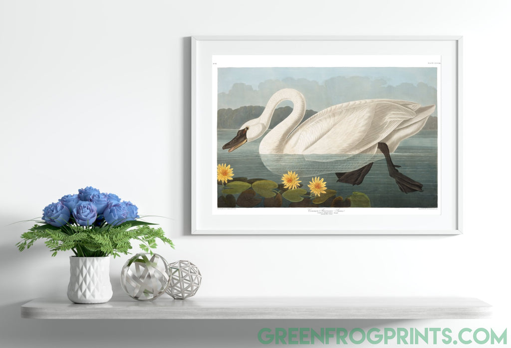 Audubon American Swan Print | High Quality Printed Artwork On Canvas Or Paper
