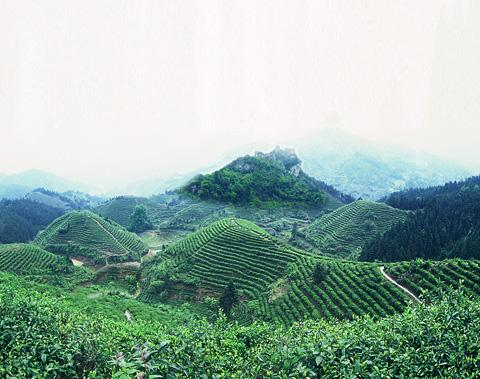 gou gu nao, green tea, green tea mountain