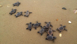 Climate Change Is Affecting Sea Turtles