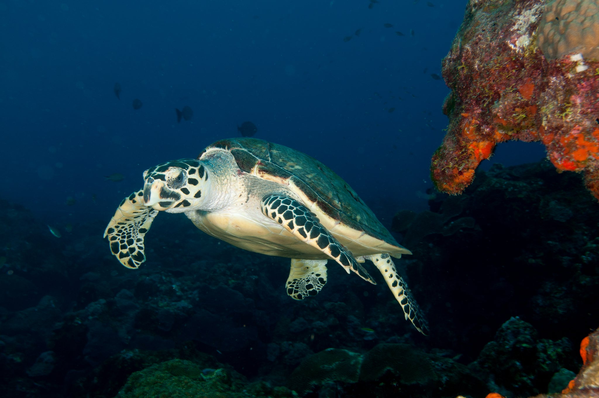 the hawksbill sea turtle blog post