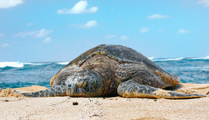 The 7 Types of Sea Turtle Species sandy ripple blog