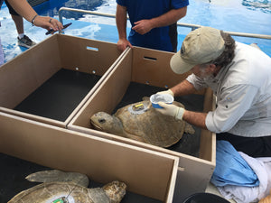 Where can I volunteer abroad to work with sea turtles?