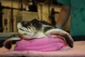 Turtle Rescue Sandy Ripple Blog