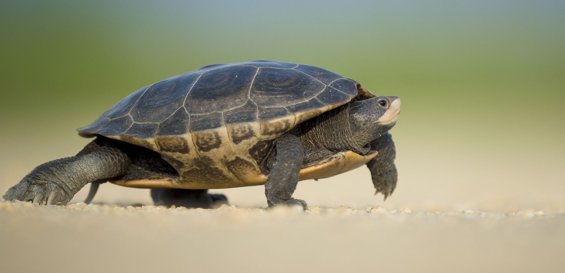 How Long Can Small Turtles Go Without Food And Water?