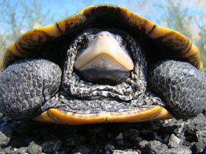 Why Do Turtles Hide In Their Shell And How Safe Are They?