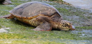 sandy ripple blog post on the Galapagos green sea turtle