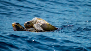 Sea Turtle Mating And How It Happens