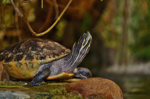 turtles that live on land and water are called terrapins