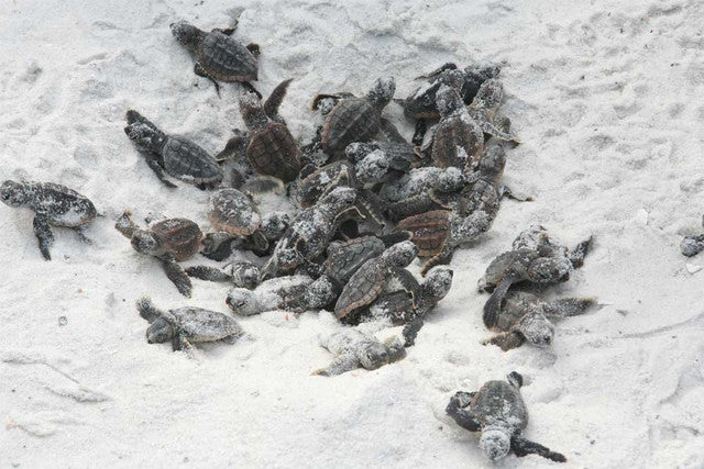 sea turtle hatchlings sea turtle facts for kids sandy ripple blog
