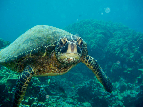 green sea turtle image