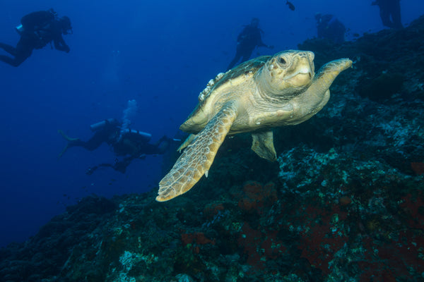 loggerhead sea turtle image