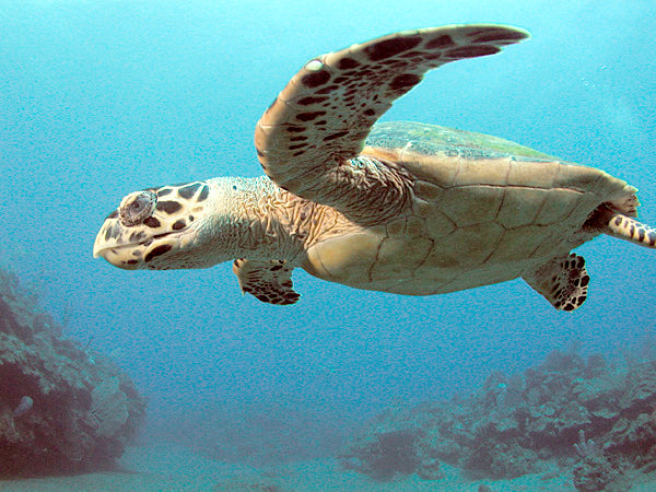 Hawksbill sea turtle image by B.navez
