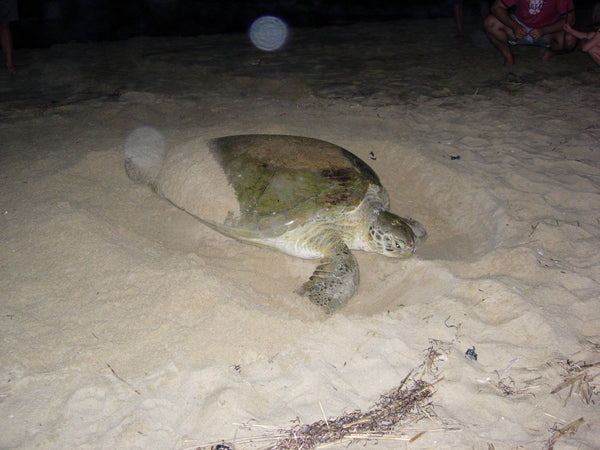 green sea turtle nesting image