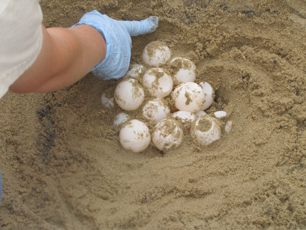 sea turtle fun facts for kids clutch of sea turtle eggs sandy ripple blog