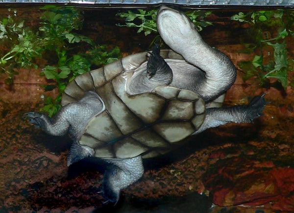 Pleurodira Types Of Turtles Image By Greg Hume
