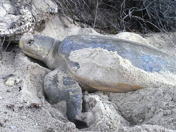 Flatback sea turtle saving the endangered sea turtles sandy ripple blog image by Lyndie Malan