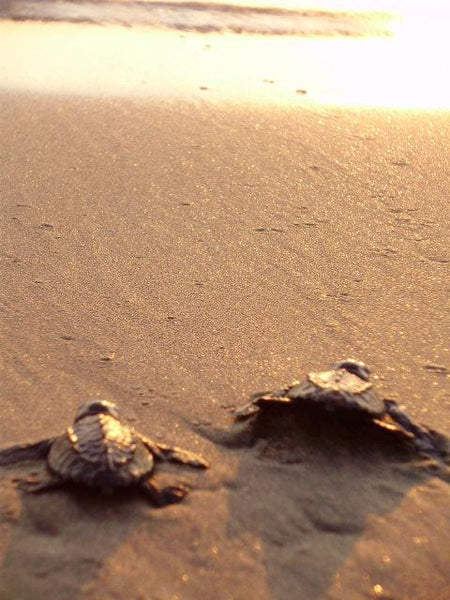 2 baby Olive Ridley sea turtles at beach