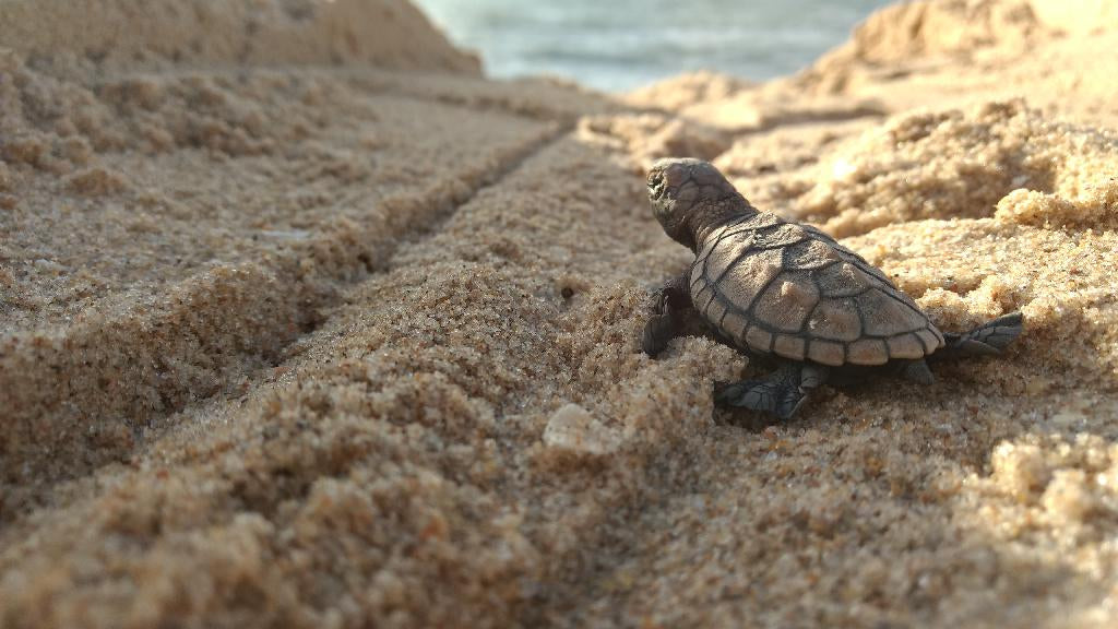 Baby Hawksbill Sea Turtle Image By Paulo Marcelo Pontes