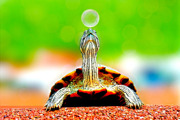 terrapin turtle bubble