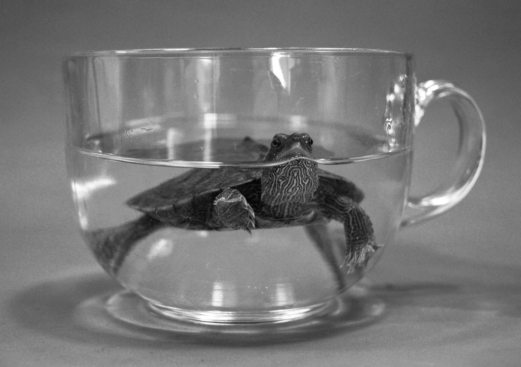 terrapin turtle in a tea cup