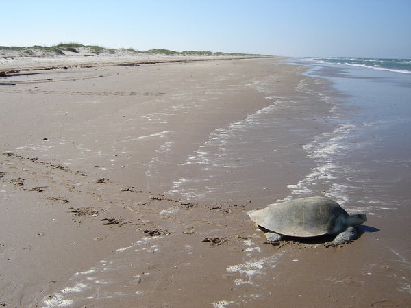 kemps ridley sea turtle image