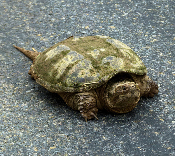Types Of Turtles Snapping Turtle
